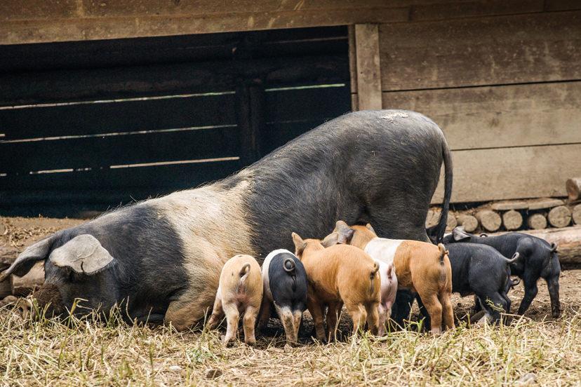 Schweine vom Wirtshaus Jagawirt | © Wirtshaus Jagawirt